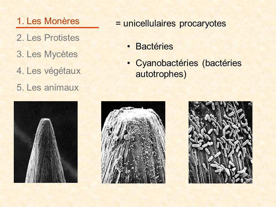 1. Les Monères 2. Les Protistes 3. Les Mycètes 4. Les végétaux 5. Les animaux = unicellulaires procaryotes Bactéries Cyanobactéries (bactéries autotro