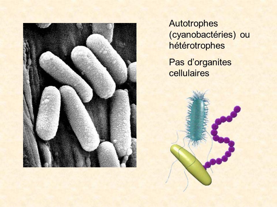 Autotrophes (cyanobactéries) ou hétérotrophes Pas dorganites cellulaires