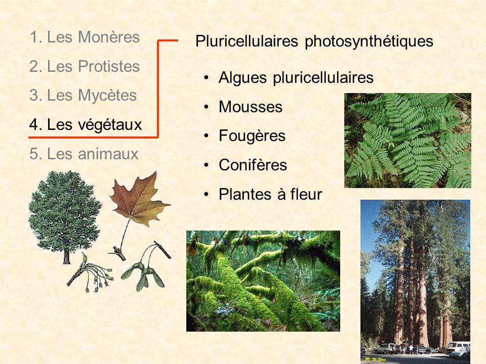 Pluricellulaires photosynthétiques Algues pluricellulaires Mousses Fougères Conifères Plantes à fleur 1. Les Monères 2. Les Protistes 3. Les Mycètes 4