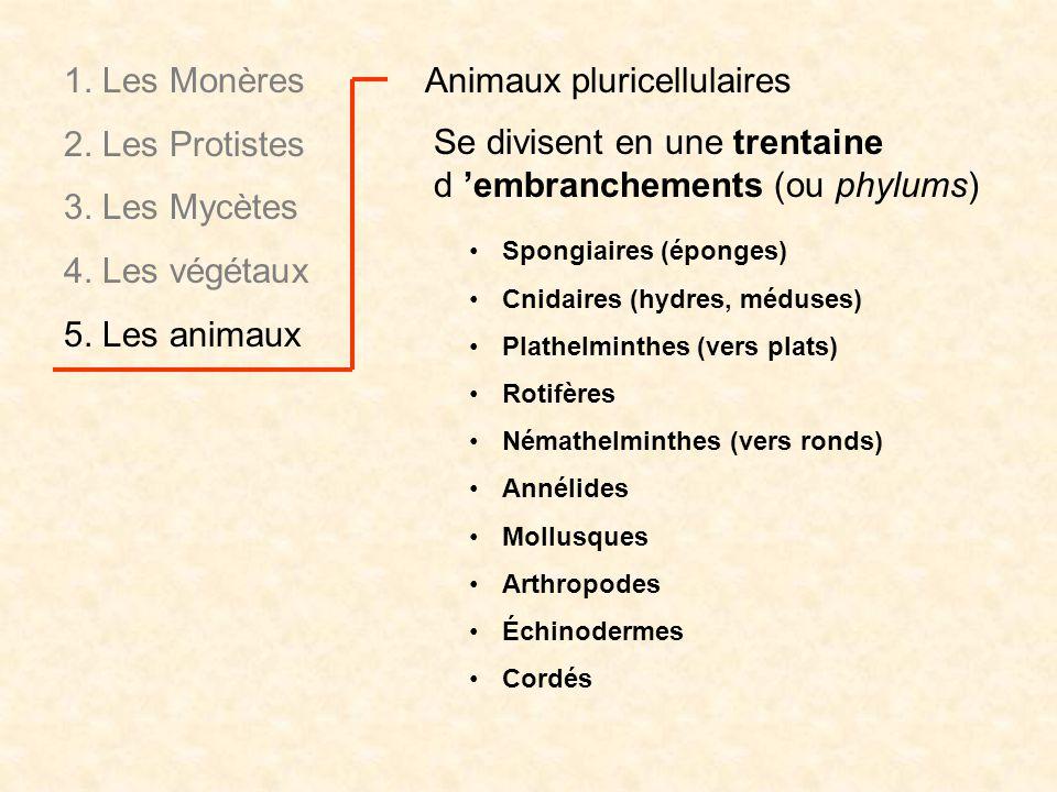 Animaux pluricellulaires Se divisent en une trentaine d embranchements (ou phylums) Spongiaires (éponges) Cnidaires (hydres, méduses) Plathelminthes (