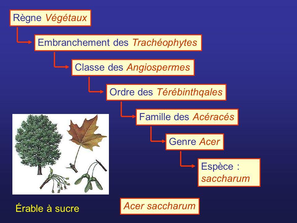 Règne Végétaux Embranchement des TrachéophytesClasse des AngiospermesOrdre des TérébinthqalesFamille des AcéracésGenre AcerEspèce : saccharum Érable à