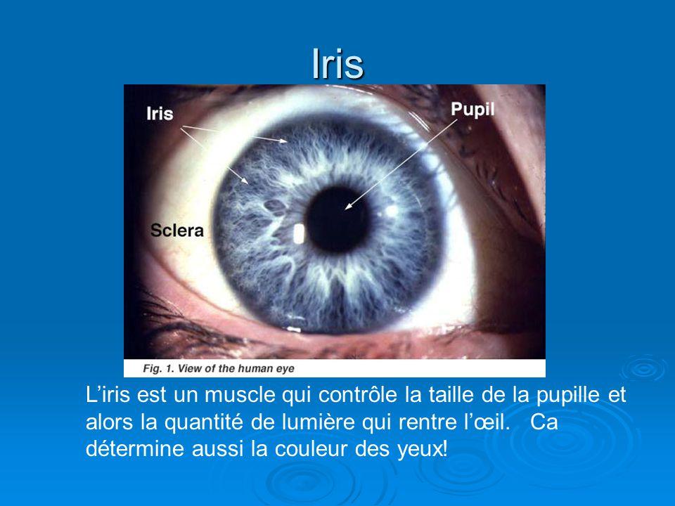 Iris Liris est un muscle qui contrôle la taille de la pupille et alors la quantité de lumière qui rentre lœil. Ca détermine aussi la couleur des yeux!