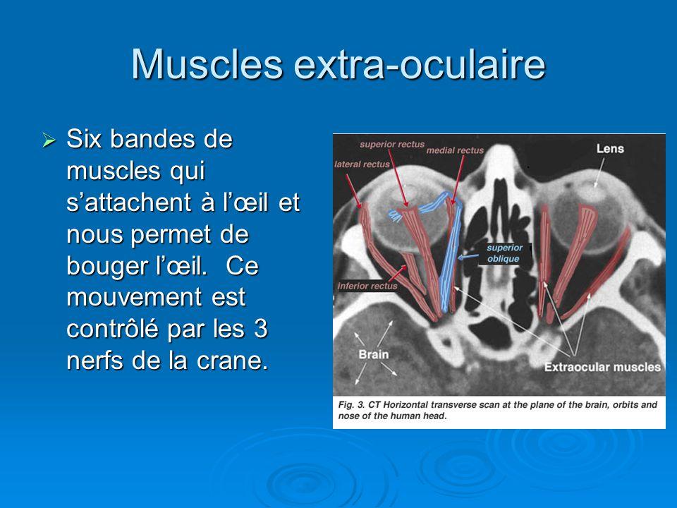 Muscles extra-oculaire Six bandes de muscles qui sattachent à lœil et nous permet de bouger lœil. Ce mouvement est contrôlé par les 3 nerfs de la cran