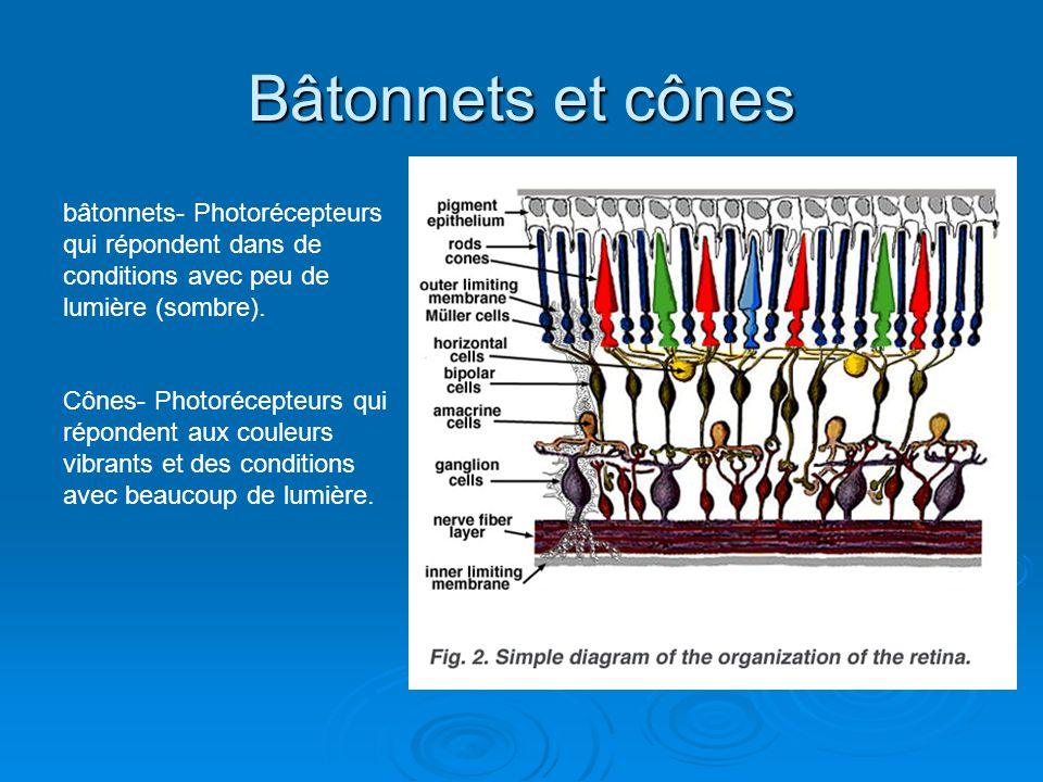 Bâtonnets et cônes bâtonnets- Photorécepteurs qui répondent dans de conditions avec peu de lumière (sombre). Cônes- Photorécepteurs qui répondent aux