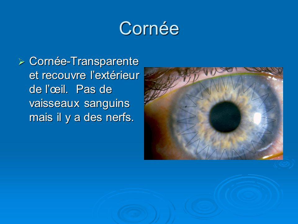 Cornée Cornée-Transparente et recouvre lextérieur de lœil. Pas de vaisseaux sanguins mais il y a des nerfs. Cornée-Transparente et recouvre lextérieur