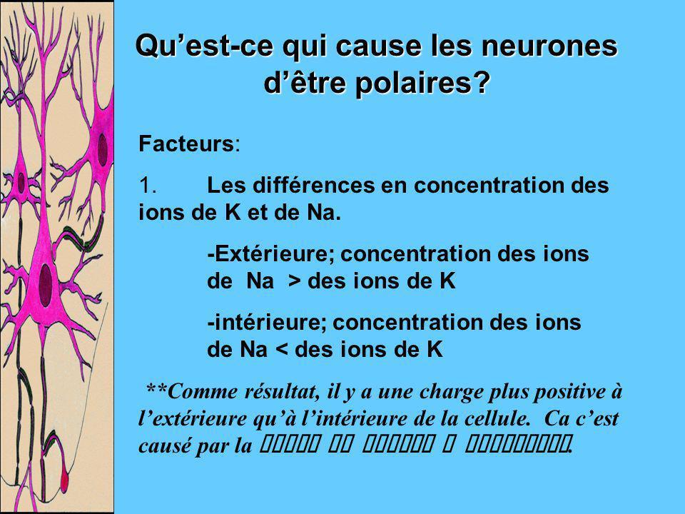 Quest-ce qui cause les neurones dêtre polaires? Facteurs: 1.Les différences en concentration des ions de K et de Na. -Extérieure; concentration des io