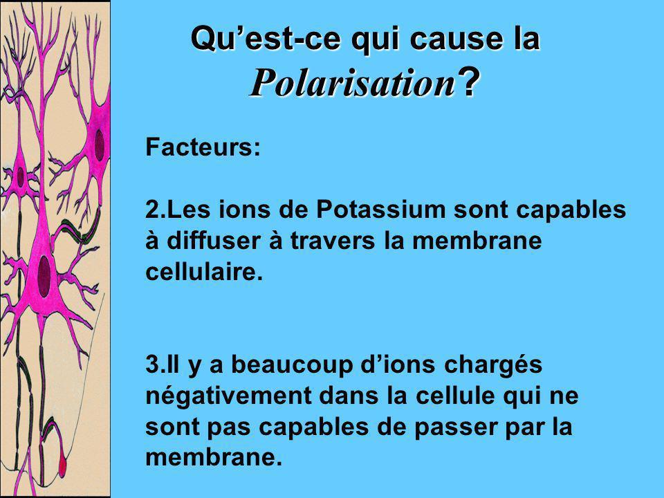 Quest-ce qui cause la Polarisation? Facteurs: 2.Les ions de Potassium sont capables à diffuser à travers la membrane cellulaire. 3.Il y a beaucoup dio