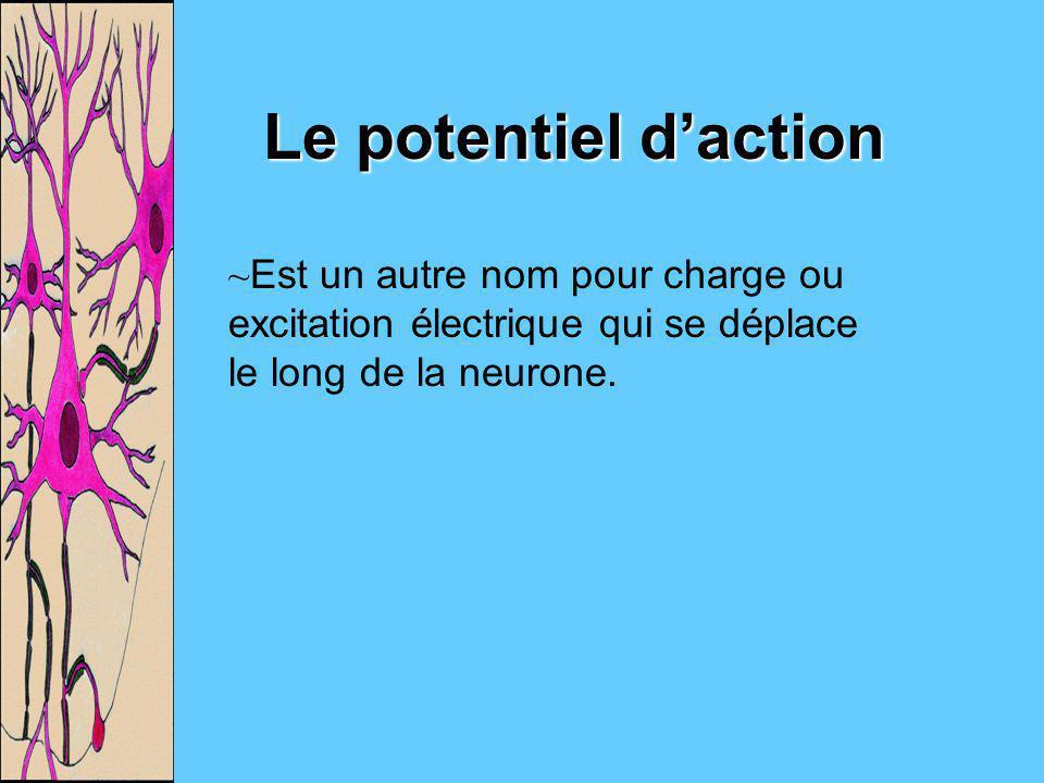 Le potentiel daction ~Est un autre nom pour charge ou excitation électrique qui se déplace le long de la neurone.