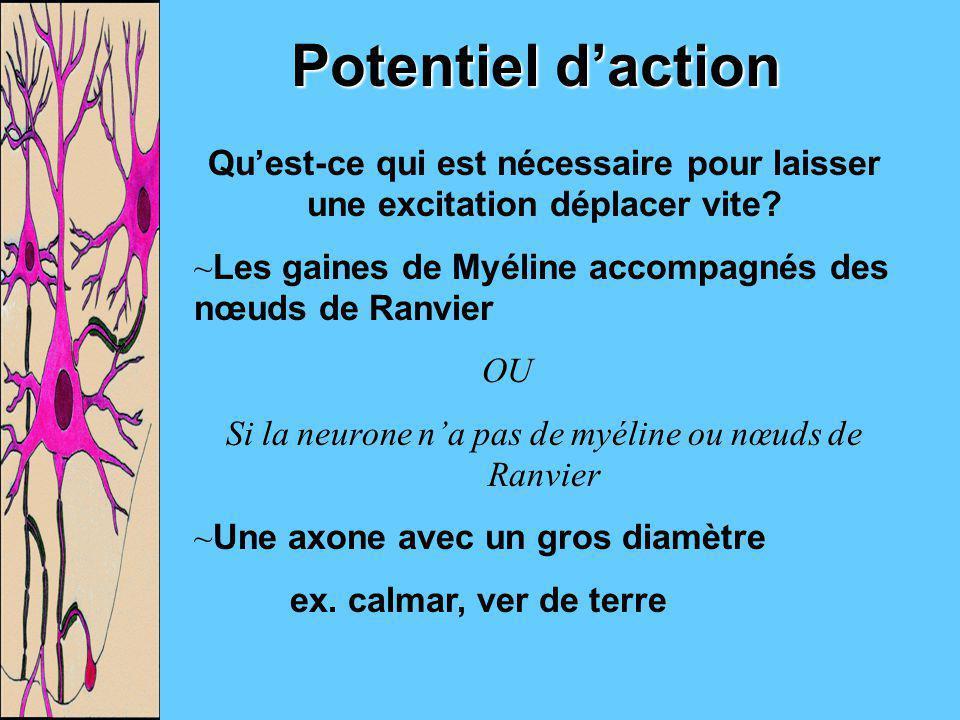 Potentiel daction Quest-ce qui est nécessaire pour laisser une excitation déplacer vite? ~Les gaines de Myéline accompagnés des nœuds de Ranvier OU Si