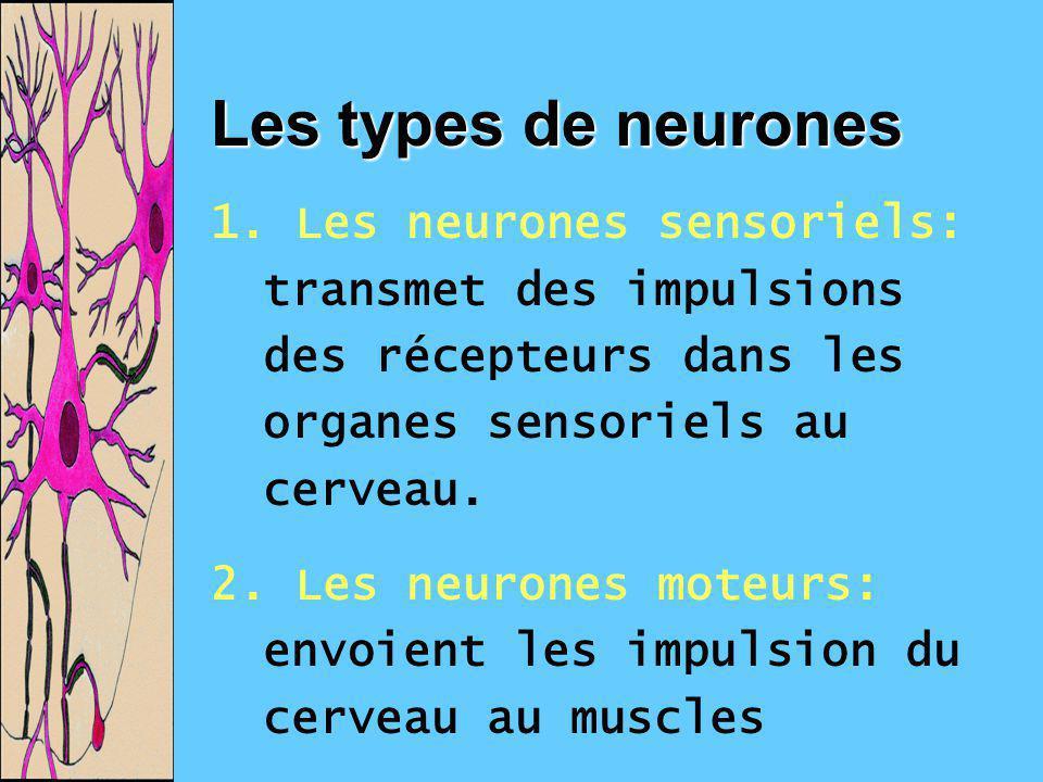 Les types de neurones 1. Les neurones sensoriels: transmet des impulsions des récepteurs dans les organes sensoriels au cerveau. 2. Les neurones moteu