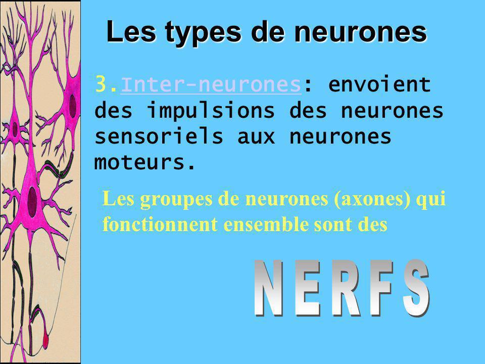 Les types de neurones 3.Inter-neurones: envoient des impulsions des neurones sensoriels aux neurones moteurs.Inter-neurones Les groupes de neurones (a