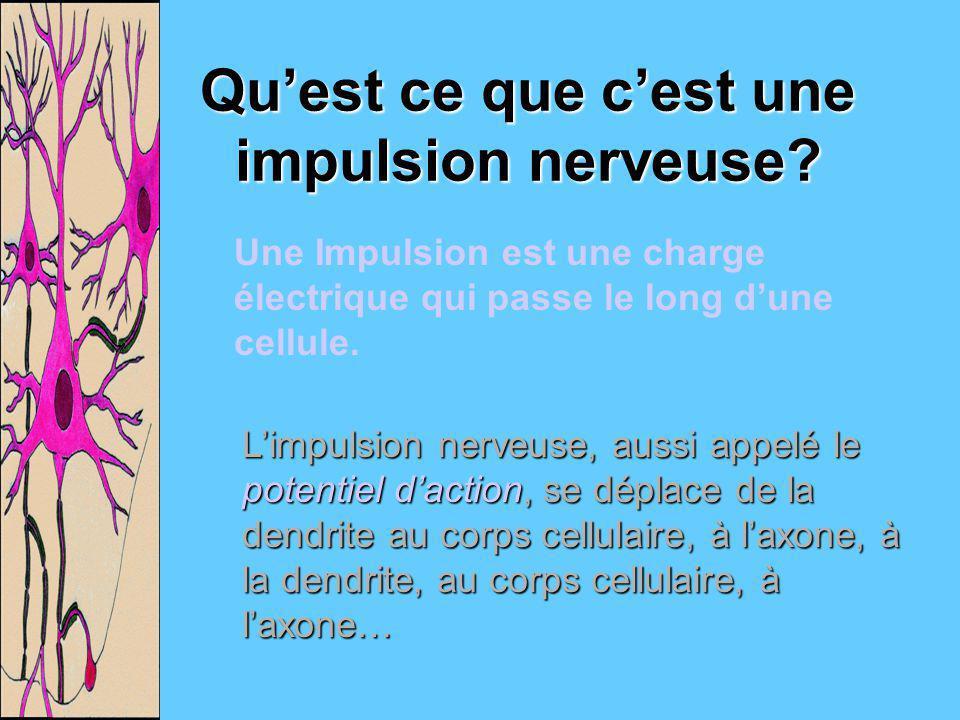 Quest ce que cest une impulsion nerveuse? Une Impulsion est une charge électrique qui passe le long dune cellule. Limpulsion nerveuse, aussi appelé le