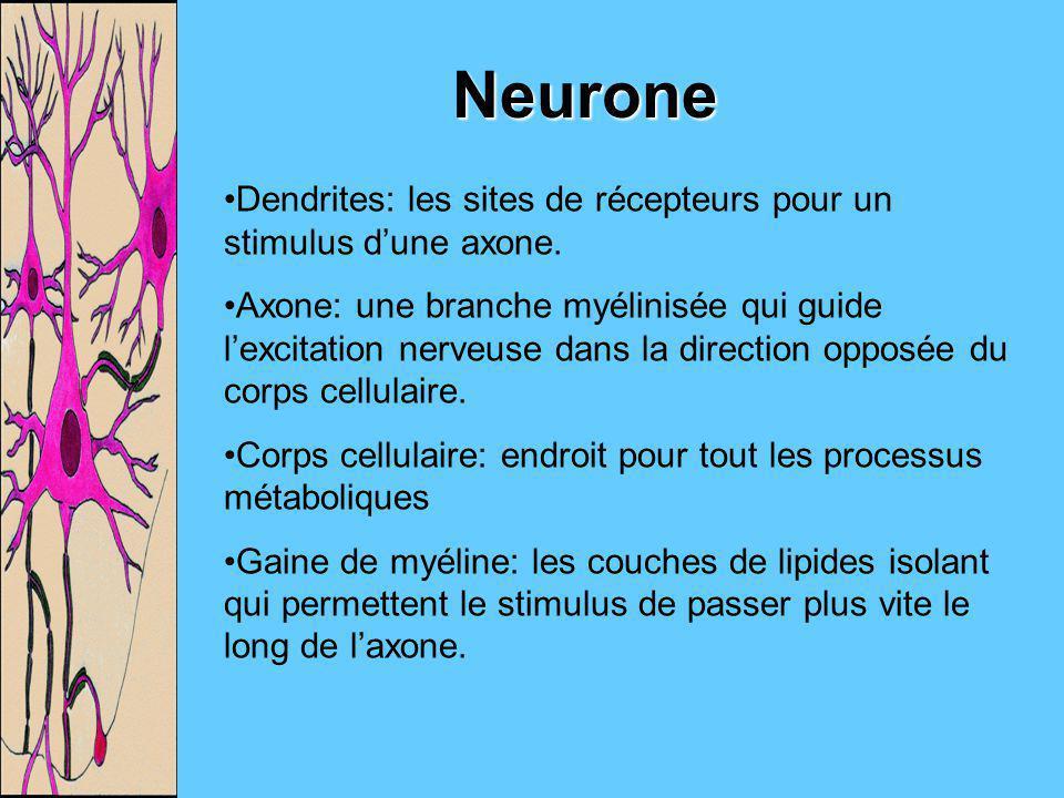 Neurone Dendrites: les sites de récepteurs pour un stimulus dune axone. Axone: une branche myélinisée qui guide lexcitation nerveuse dans la direction