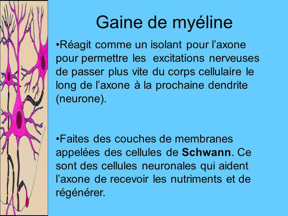 Gaine de myéline Réagit comme un isolant pour laxone pour permettre les excitations nerveuses de passer plus vite du corps cellulaire le long de laxon
