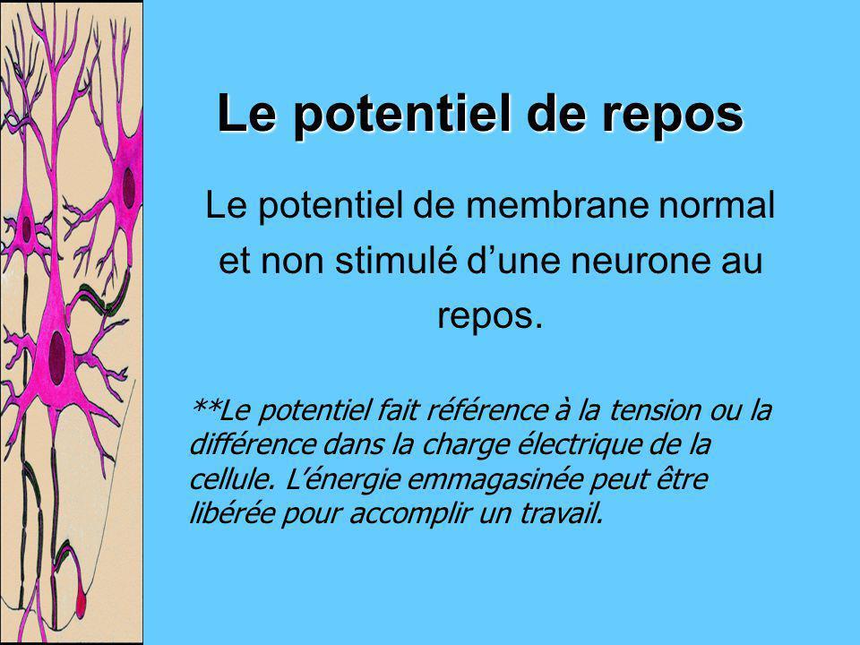 Le potentiel de repos Le potentiel de membrane normal et non stimulé dune neurone au repos. **Le potentiel fait référence à la tension ou la différenc