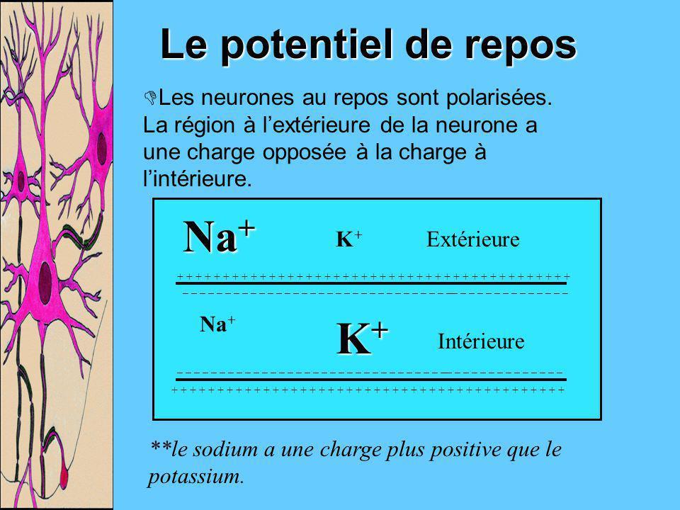 Le potentiel de repos Les neurones au repos sont polarisées. La région à lextérieure de la neurone a une charge opposée à la charge à lintérieure. _ _