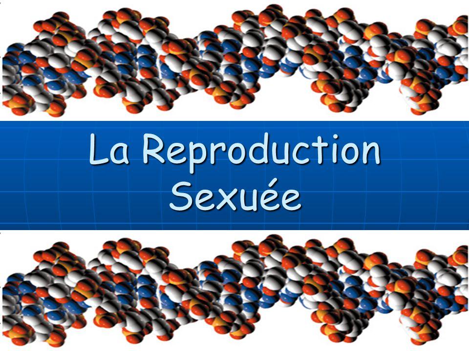 Il y a 3 étapes majeures dans le cycle cellulaire de la méiose: Il y a 3 étapes majeures dans le cycle cellulaire de la méiose: ~ Interphase ~ Méiose I ~ Méiose I ~ Méiose II ~ Méiose II La Reproduction sexuée