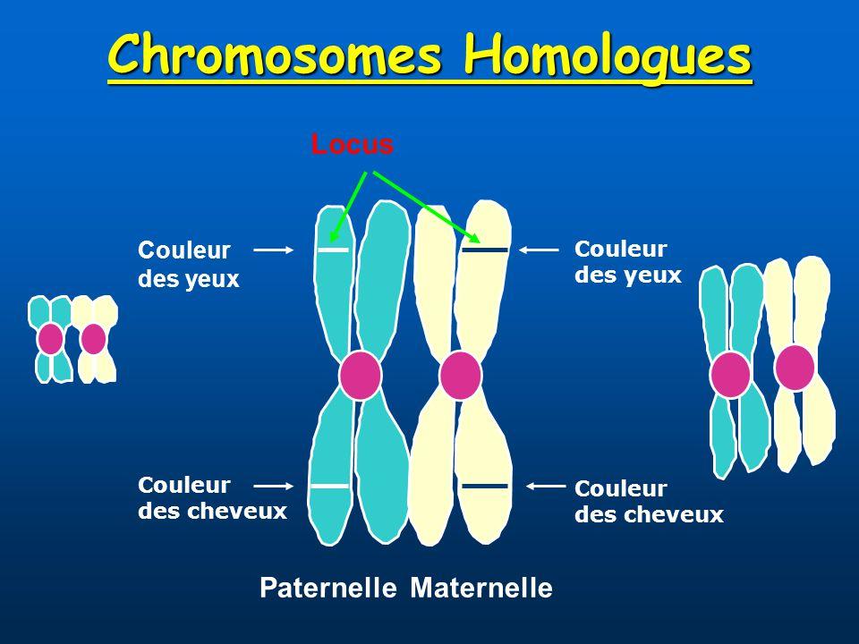 Chromosomes Homologues PaternelleMaternelle Couleur des yeux Couleur des cheveux Locus