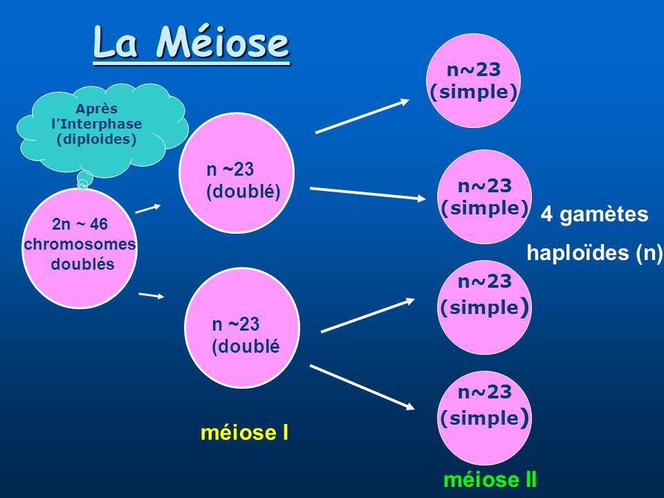 La Méiose 2n ~ 46 chromosomes doublés n ~23 (doublé) n ~23 (doublé méiose I n~23 (simple) n~23 (simple) n~23 (simple ) n~23 (simple ) méiose II 4 gamètes haploïdes (n) Après lInterphase (diploides)