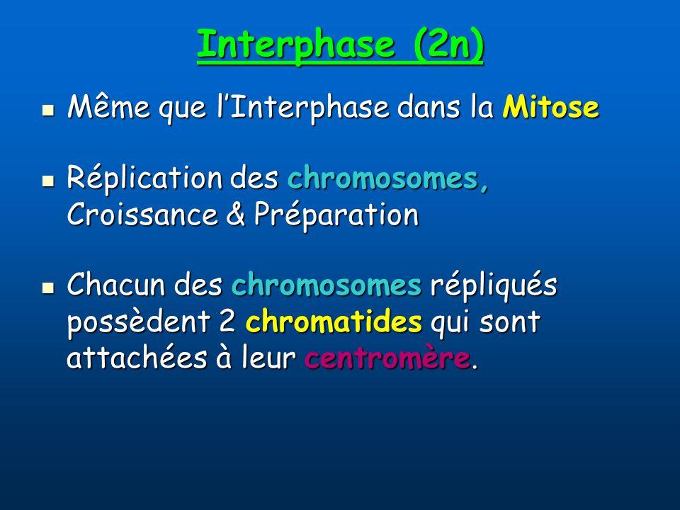 Interphase (2n) Même que lInterphase dans la Mitose Même que lInterphase dans la Mitose Réplication des chromosomes, Croissance & Préparation Réplication des chromosomes, Croissance & Préparation Chacun des chromosomes répliqués possèdent 2 chromatides qui sont attachées à leur centromère.