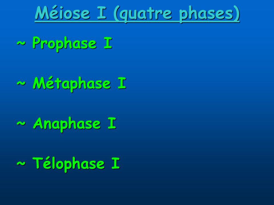 Méiose I (quatre phases) ~ Prophase I ~ Métaphase I ~ Anaphase I ~ Télophase I