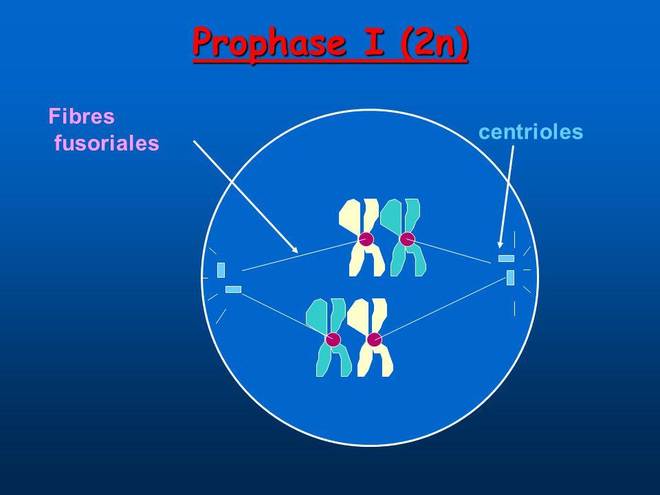 Prophase I (2n) centrioles Fibres fusoriales