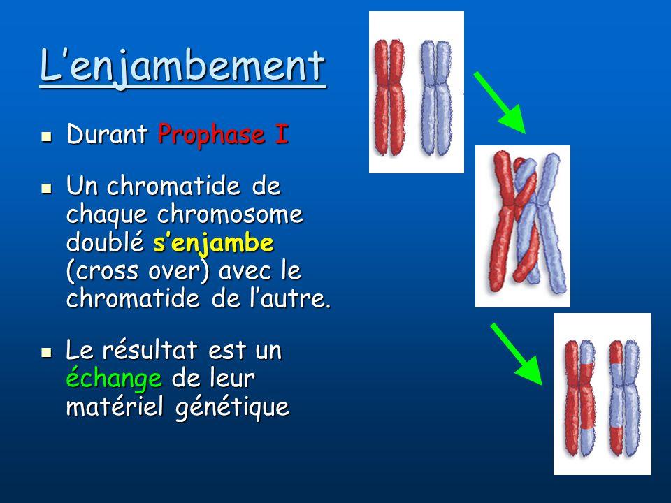 Lenjambement Durant Prophase I Durant Prophase I Un chromatide de chaque chromosome doublé senjambe (cross over) avec le chromatide de lautre.