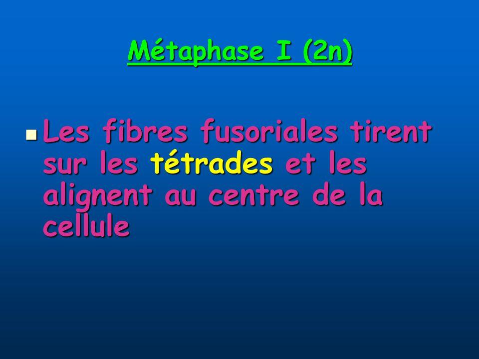 Métaphase I (2n) Les fibres fusoriales tirent sur les tétrades et les alignent au centre de la cellule Les fibres fusoriales tirent sur les tétrades et les alignent au centre de la cellule