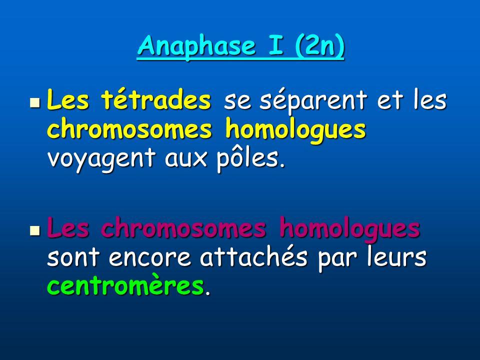Anaphase I (2n) Les tétrades se séparent et les chromosomes homologues voyagent aux pôles.