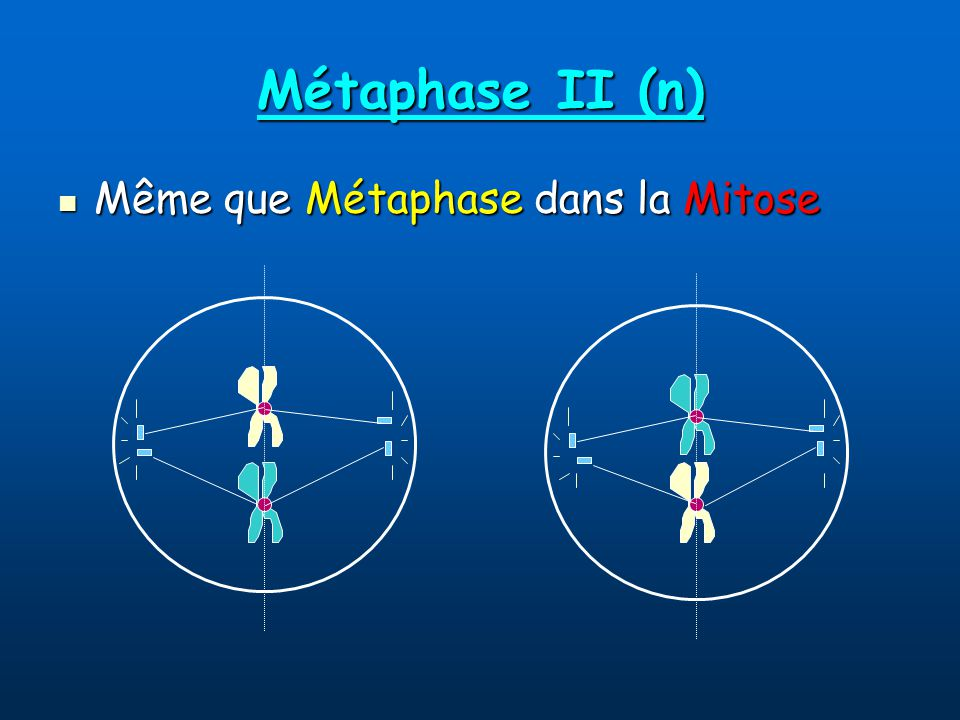 Métaphase II (n) Même que Métaphase dans la Mitose Même que Métaphase dans la Mitose