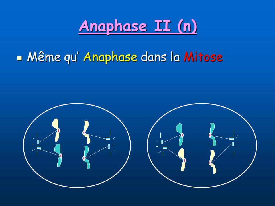 Anaphase II (n) Même qu Anaphase dans la Mitose Même qu Anaphase dans la Mitose