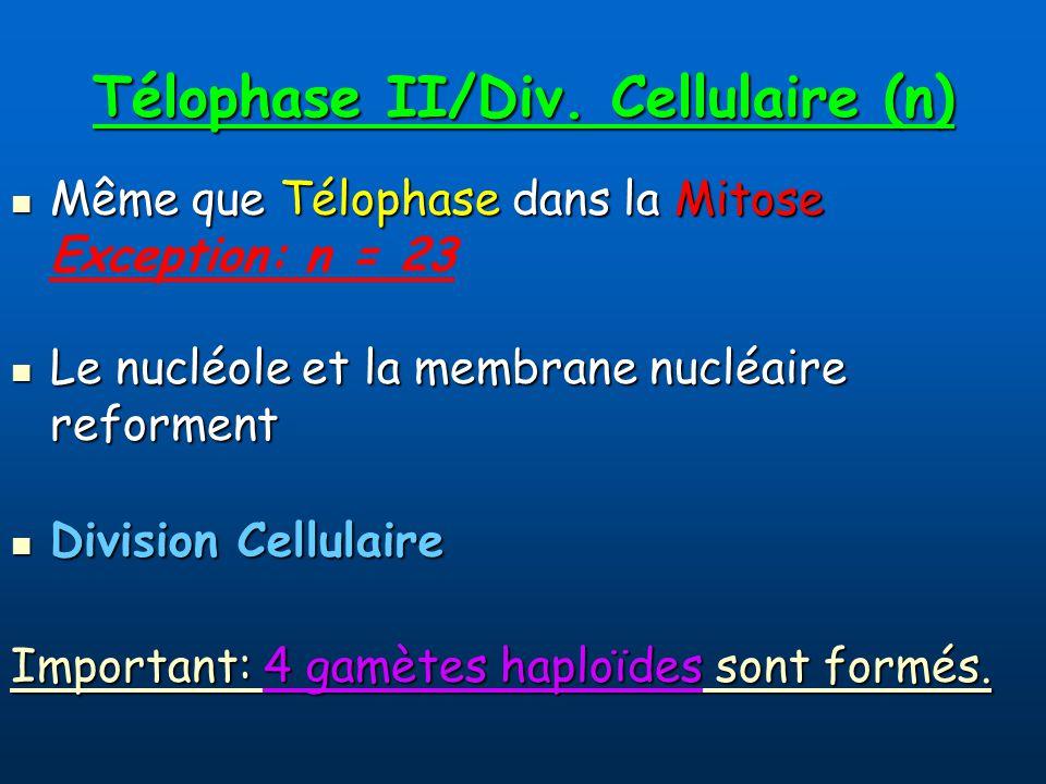 Télophase II/Div.