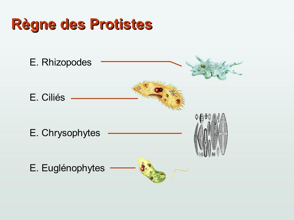 Règne des Protistes E. Rhizopodes E. Ciliés E. Chrysophytes E. Euglénophytes