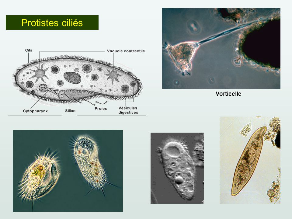 Protistes ciliés Vorticelle