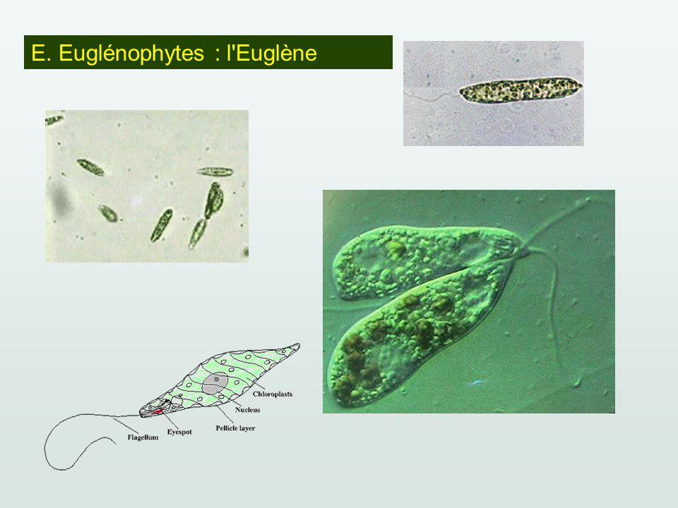 E. Euglénophytes : l'Euglène
