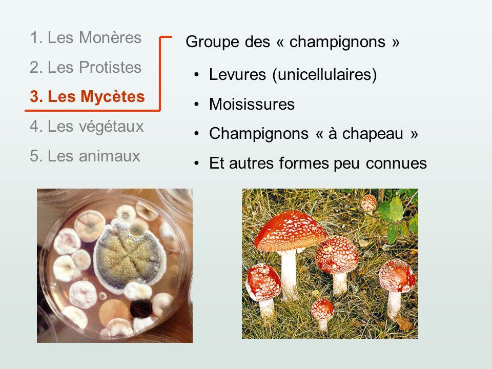 1. Les Monères 2. Les Protistes 3. Les Mycètes 4. Les végétaux 5. Les animaux Groupe des « champignons » Levures (unicellulaires) Moisissures Champign