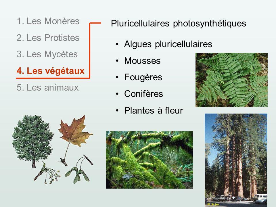 1. Les Monères 2. Les Protistes 3. Les Mycètes 4. Les végétaux 5. Les animaux Pluricellulaires photosynthétiques Algues pluricellulaires Mousses Fougè