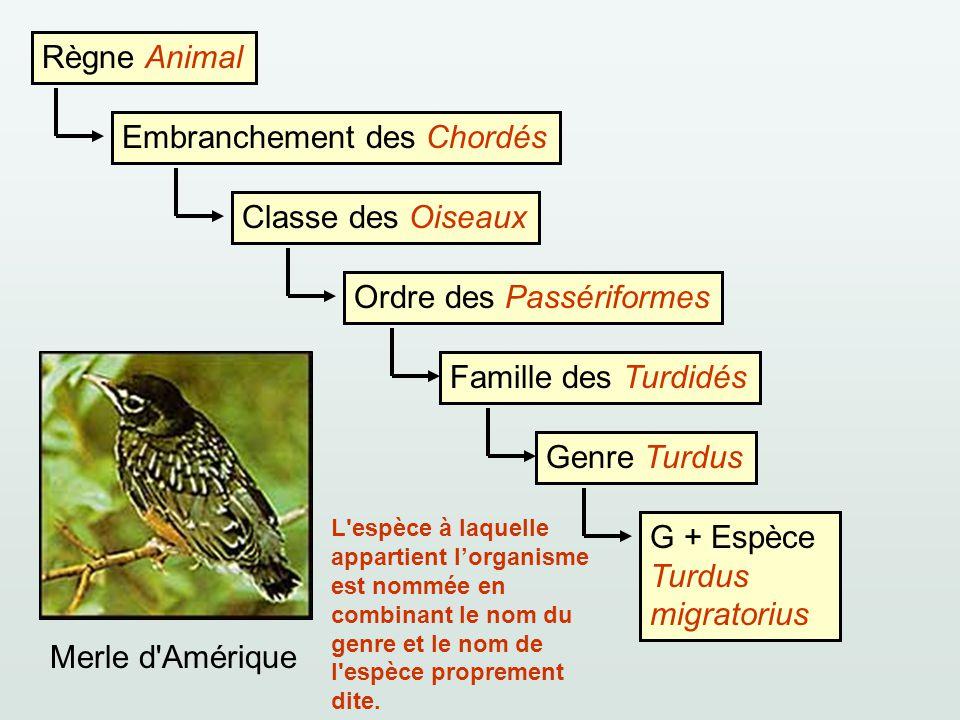 Règne Animal Embranchement des ChordésClasse des OiseauxOrdre des PassériformesFamille des TurdidésGenre TurdusG + Espèce Turdus migratorius Merle d'A