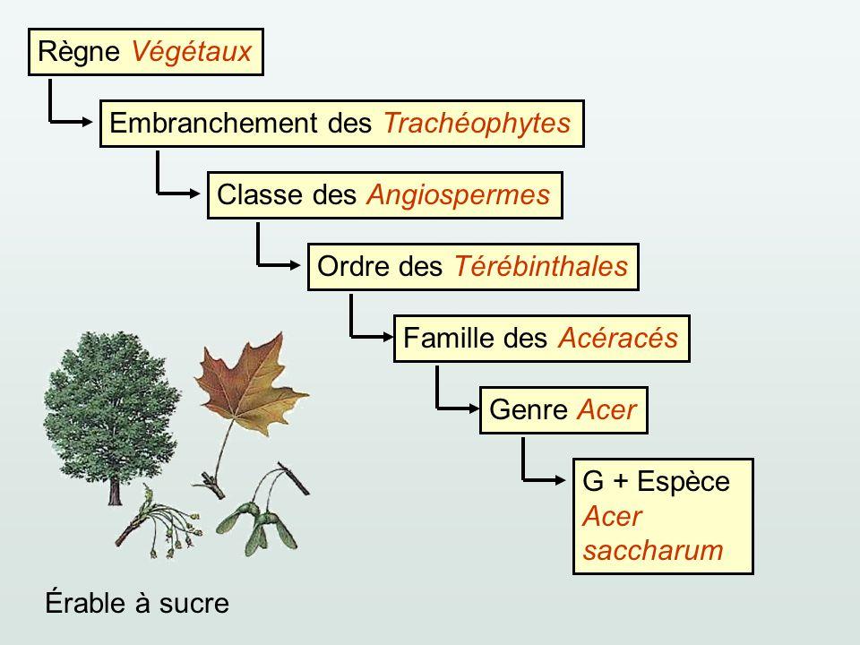 Règne Végétaux Embranchement des TrachéophytesClasse des AngiospermesOrdre des TérébinthalesFamille des AcéracésGenre AcerG + Espèce Acer saccharum Ér