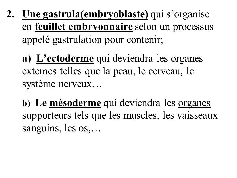 2. Une gastrula(embryoblaste) qui sorganise en feuillet embryonnaire selon un processus appelé gastrulation pour contenir; a) Lectoderme qui deviendra
