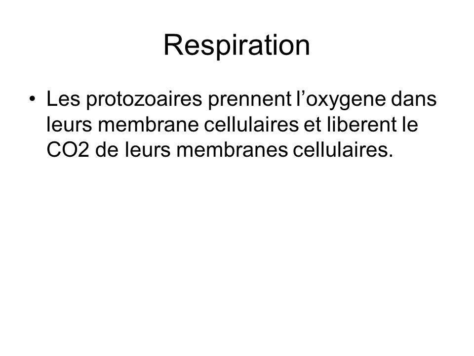 Respiration Les protozoaires prennent loxygene dans leurs membrane cellulaires et liberent le CO2 de leurs membranes cellulaires.