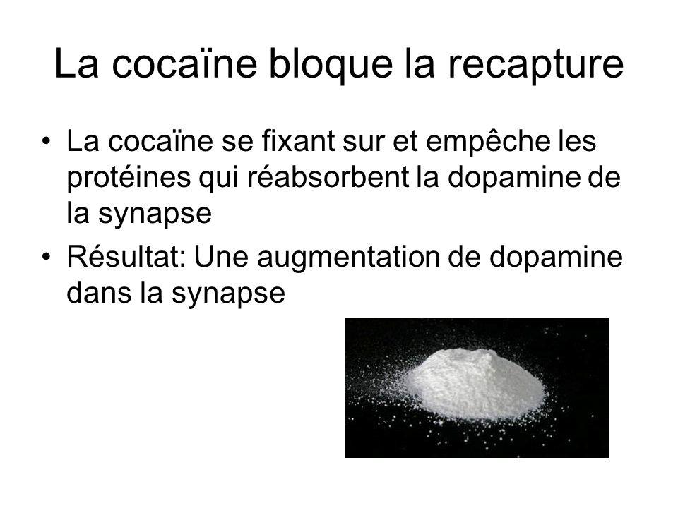 La cocaïne bloque la recapture La cocaïne se fixant sur et empêche les protéines qui réabsorbent la dopamine de la synapse Résultat: Une augmentation