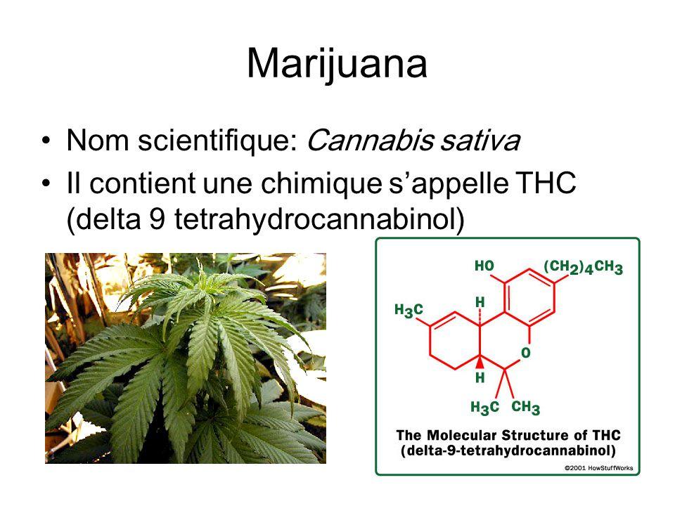 Marijuana Nom scientifique: Cannabis sativa Il contient une chimique sappelle THC (delta 9 tetrahydrocannabinol)