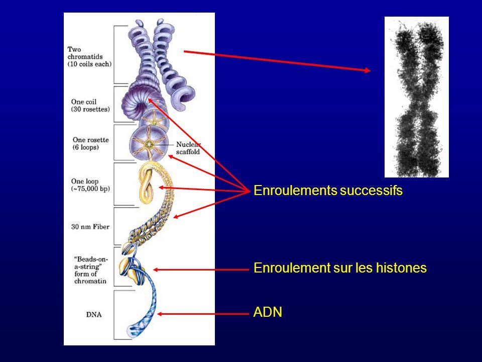 Enroulements successifs ADN Enroulement sur les histones