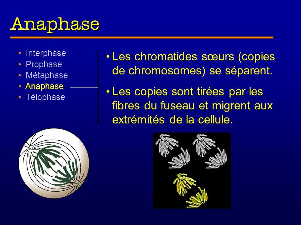 Interphase Prophase Métaphase Anaphase Télophase Les chromatides sœurs (copies de chromosomes) se séparent.