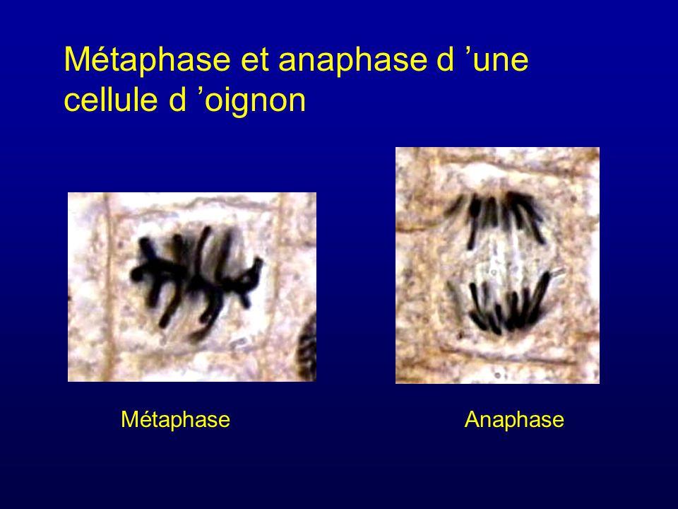 Métaphase et anaphase d une cellule d oignon MétaphaseAnaphase