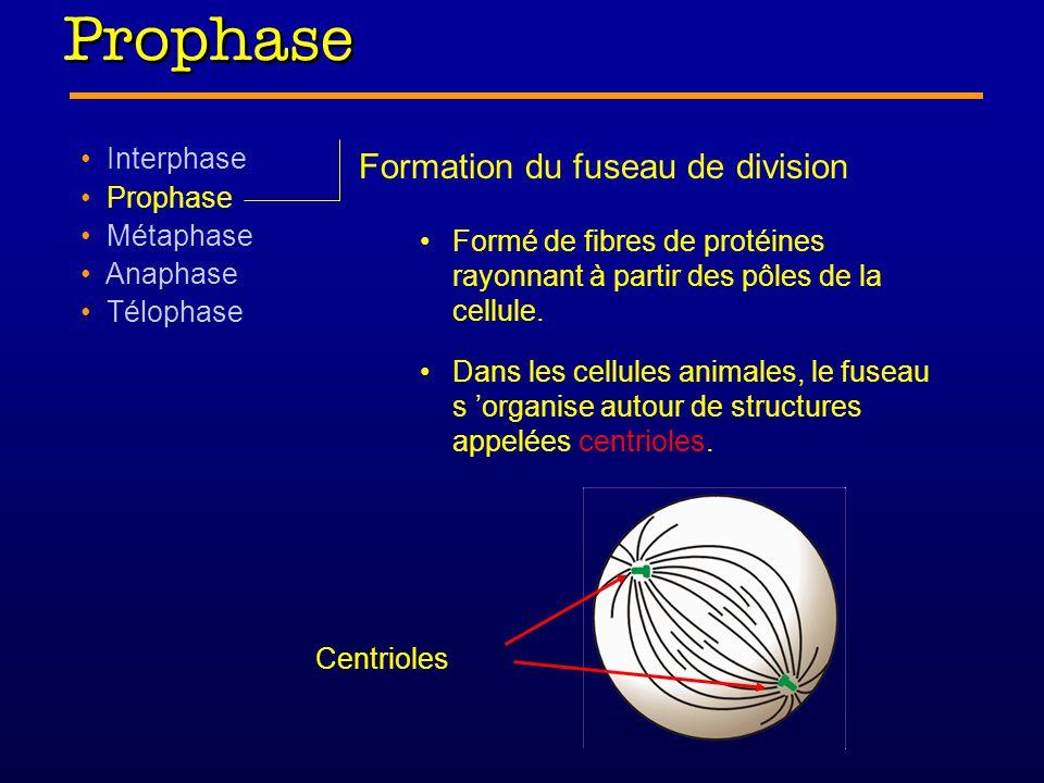 Prophase Interphase Prophase Métaphase Anaphase Télophase Formation du fuseau de division Formé de fibres de protéines rayonnant à partir des pôles de la cellule.