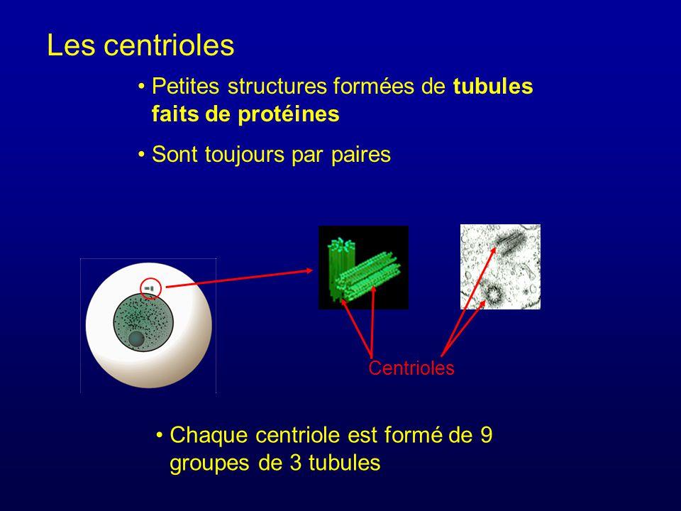 Petites structures formées de tubules faits de protéines Sont toujours par paires Les centrioles Chaque centriole est formé de 9 groupes de 3 tubules