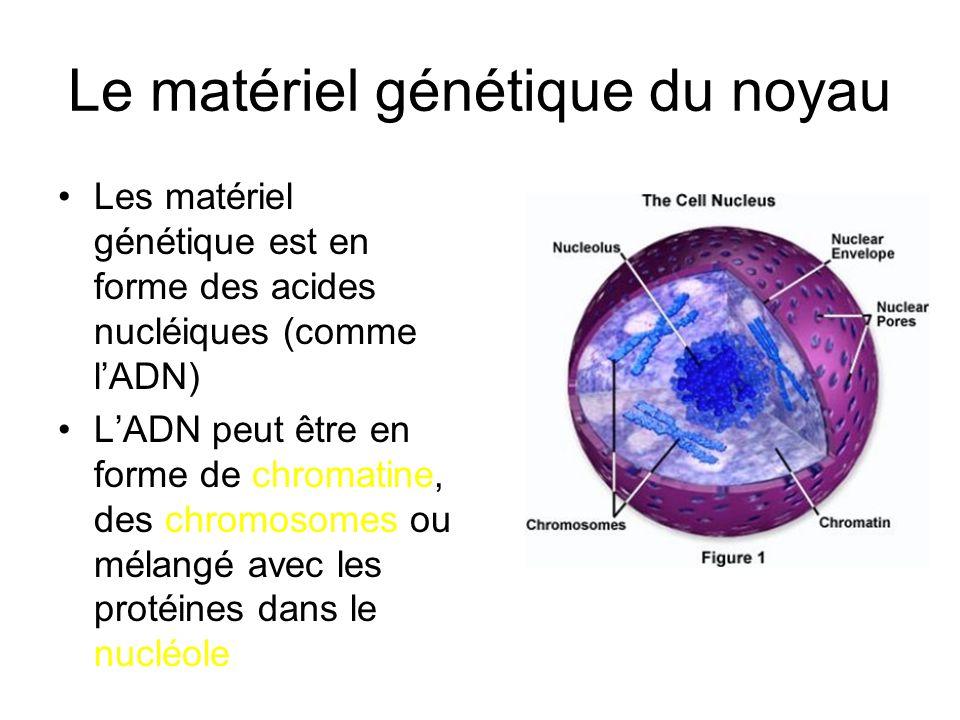Le matériel génétique du noyau Les matériel génétique est en forme des acides nucléiques (comme lADN) LADN peut être en forme de chromatine, des chrom