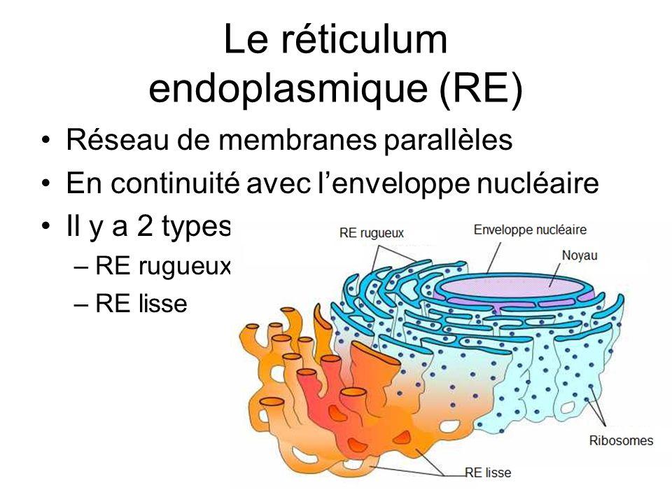 Le réticulum endoplasmique (RE) Réseau de membranes parallèles En continuité avec lenveloppe nucléaire Il y a 2 types –RE rugueux –RE lisse